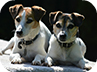 Two cute Jack Russell dogs home boarding at Canine Lodge on the Wirral peninsula
