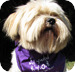 Small cute Lhasa dog and regular home border at canine lodge wirral